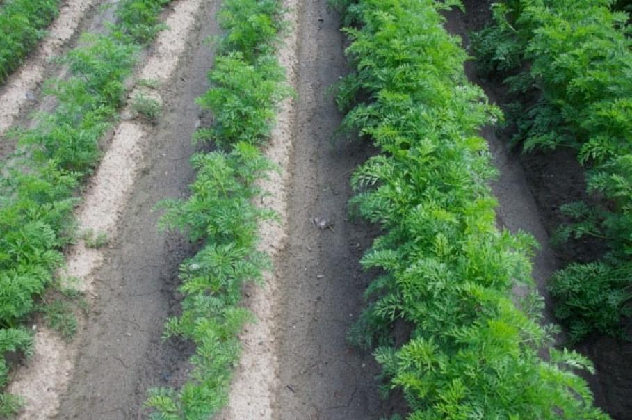 Kematen Tirol 2013. Gleiche Sorte, gleiches Saatdatum. Rechts mit AgroArgentum® mit GRANDER®-Wasser belebt, links ohne.